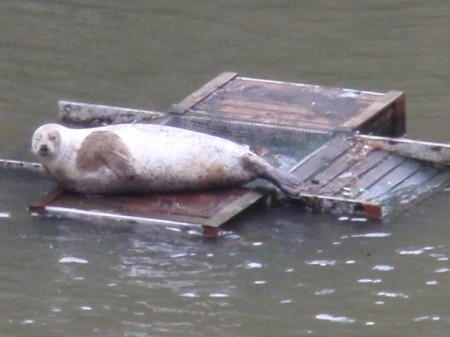 SEAL IN ST SAVIOURS DOCK. Is he classed as a resident.jpg