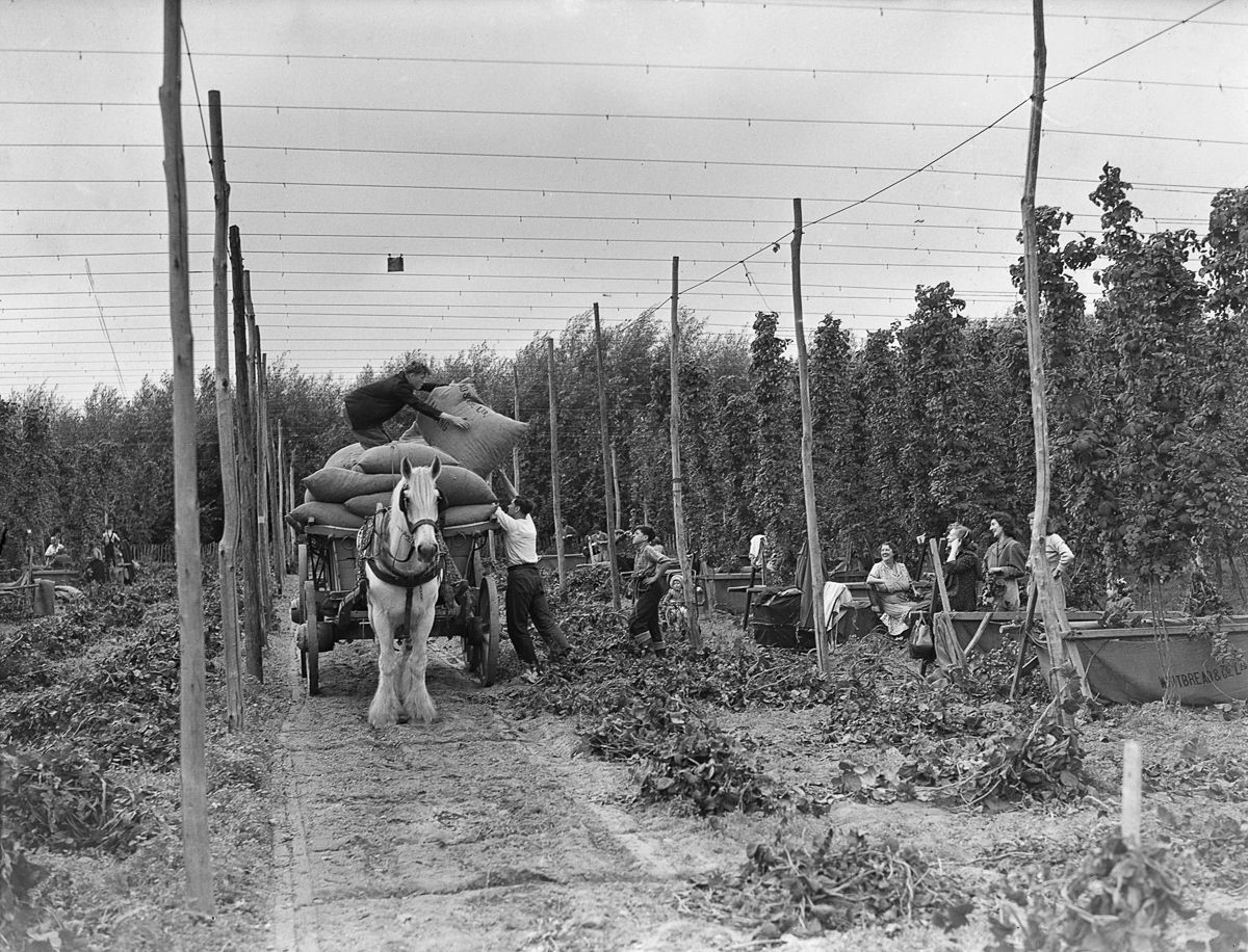 Hoppers at work at Whitbread's Farm at Beltring, Kent. c.1930.jpg