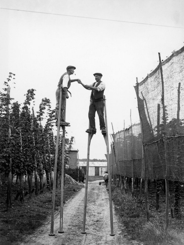 Hop pickers use stilts on a farm at Wateringbury in Kent,1928..jpg